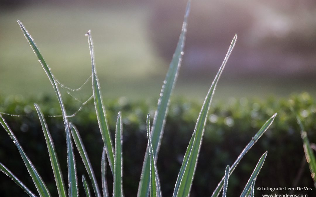 dauwdruppels op het gras