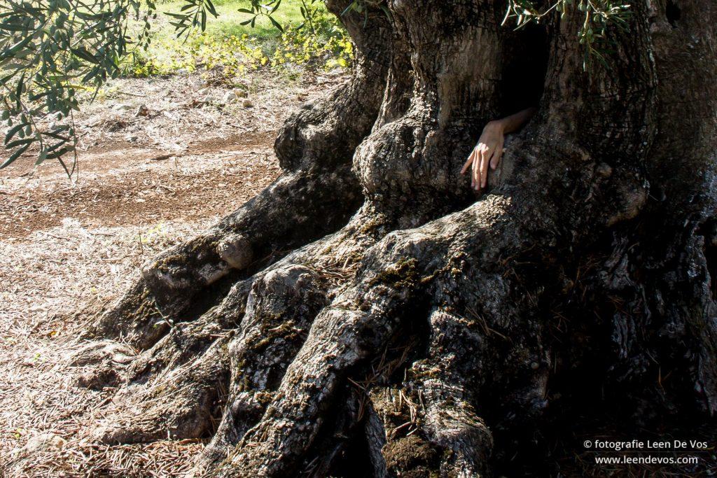 eeuwenoude olijfbomen Zakynthos